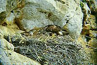 Habichtsadler, Paar am Nest, Horst, Habichts-Adler, Hieraaetus fasciatus, Aquila fasciata, Bonelli's eagle, L'Aigle de Bonelli