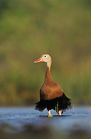 Black-bellied Whistling-Duck, Dendrocygna autumnalis,adult, Lake Corpus Christi, Texas, USA, April 2003