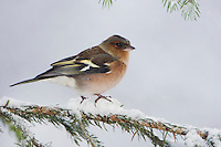 Common Chaffinch, Fringilla coelebs, adult on sprouse branch with snow while snowing, Oberaegeri, Switzerland, Dezember 2005