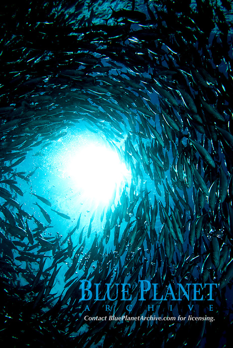 Sunburst through a school of jacks, over the wreck of the USS Liberty, Tulemben, Bali, Pacific Ocean