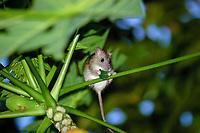 polynesian rat, Rattus exulans hawaiiensis, eating a leaf, Kailua Kona, the Big Island of Hawaii