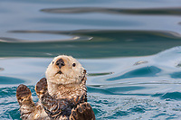 Sea otters, Port Wells, Prince William Sound, southcentral, Alaska.