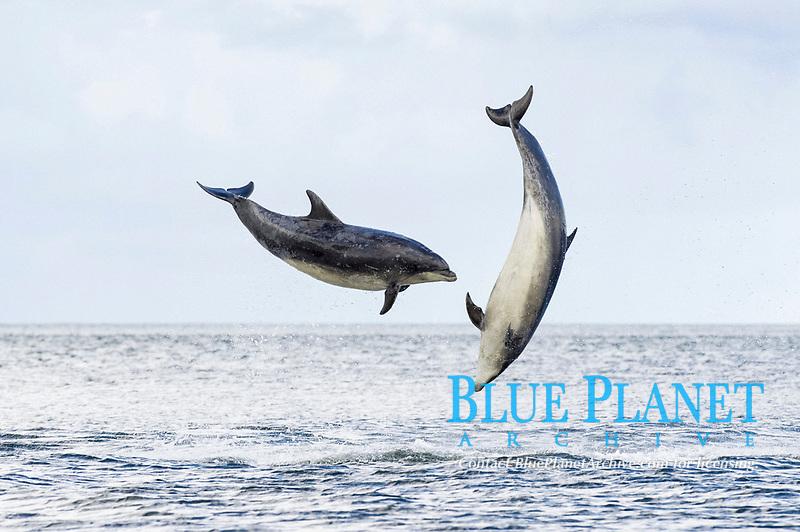 Bottlenose Dolphin (Tursiops truncatus), two adults, breaching, Chanonry Point, Black Isle, Moray Firth, Scotland, United Kingdom, Europe