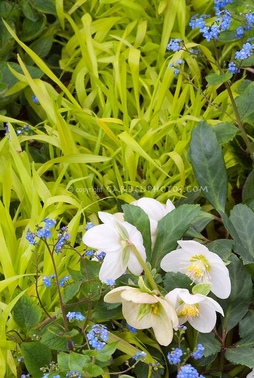 Blue & gold spring garden scene with white hellebore flowers, blue Brunnera, yellow hakon grass Hakonechloa