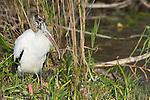 USA, Florida, Everglades NP, Wood Stork (Mycteria americana)