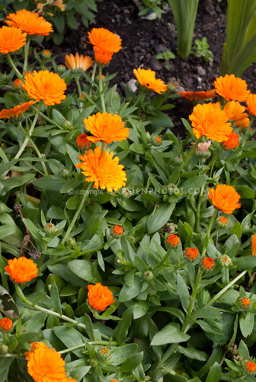 Calendula 'Power Daisy Orange' Pot marigold Powerdaisy Orange Tango, Calendula Powerdaisy Tango