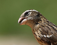 The female Rose-breasted Grosbeak resembles a large sparrow or finch.