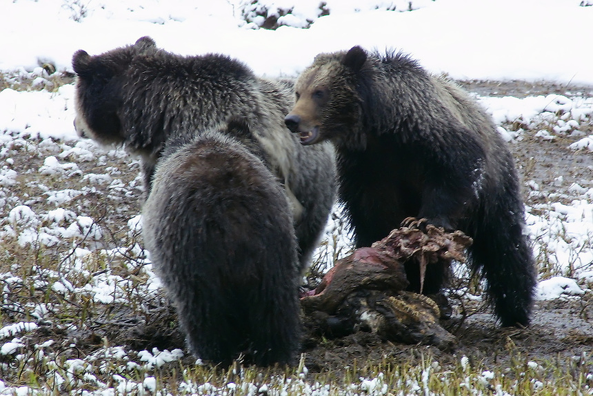This Grizzly bear family (Ursus arctos horribilis) is a mother (sow) on the right and two yearling cubs. It is early May and they have come upon a windfall, a winter killed bison. <br /> Obsidian Creek, Yellowstone