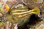 Cantherhines pullus, Orange-spotted filefish, Florida Keys
