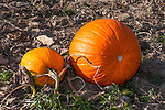 Pumpkins in the field ready for harvest, Concord, Massachusetts