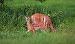White-tailed doe feeding in a summer field while her fawn is alarmed by something in the distance.