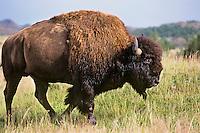 Bull Bison (Bison bison) at Theodore Roosevelt National Park, North Dakota.  Summer.