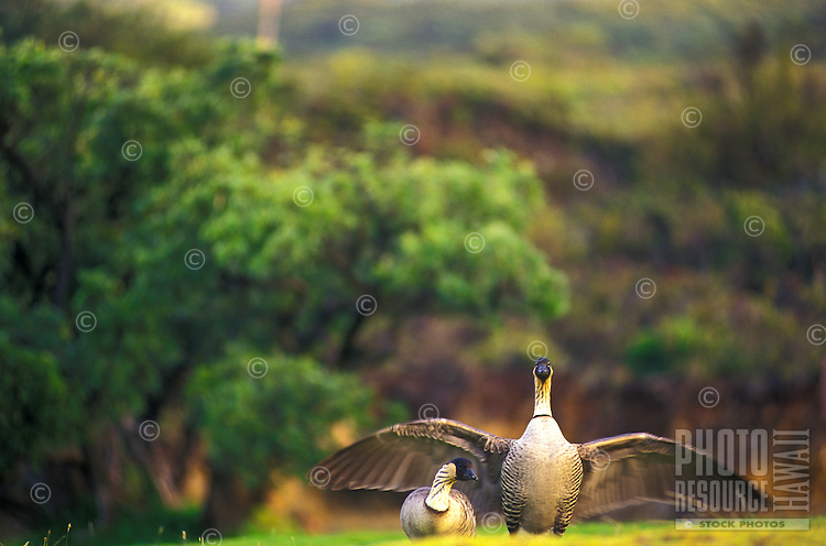 A nene postures protectively with wings spread wide at Haleakala National Park, Maui. The nene is Hawaii's state bird and an endangered species.