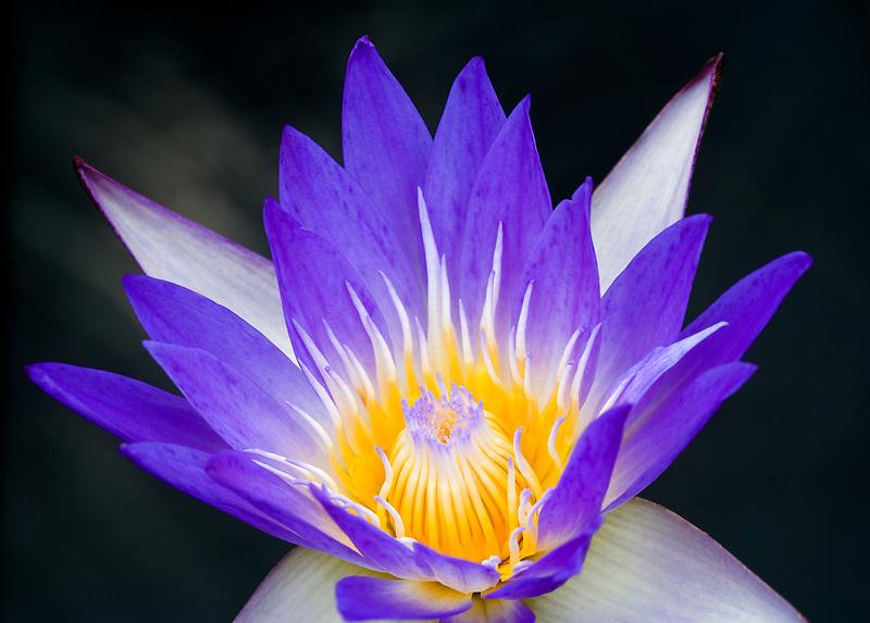 Star of Siam tropical waterlily. Hughes Water Gardens. Tualatin, Oregon