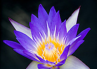 Star of Siam tropical waterlily. Hughes Water Gardens. Tualatin, Oregon