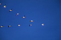 Snow geese (Chen caerulrscens) in 'V' point formation flight.