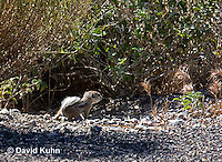 0702-1001  Young White-tailed Antelope Ground Squirrel, Ammospermophilus leucurus  © David Kuhn/Dwight Kuhn Photography