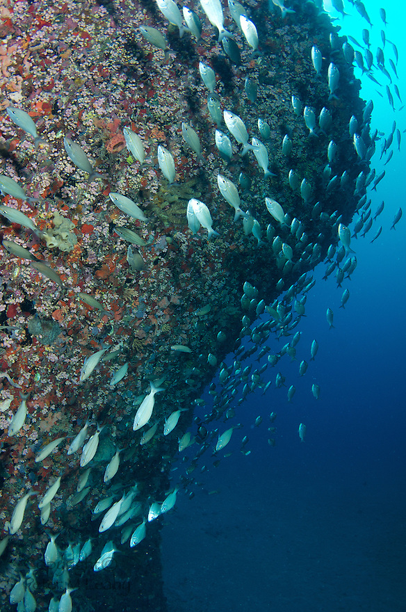 A school of Tomtates Sweeping over sunken ship.