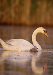 Mute swan with cygnet, Delaware Bay, New Jersey