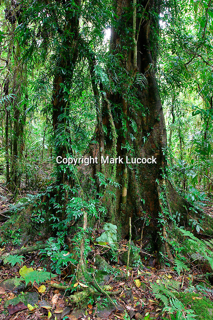 Buttress Roots and Epiphytes, Border Ranges National Park, NSW