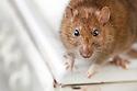 Brown Rat {Rattus norvegicus} in kitchen on cooker top. UK. Captive.