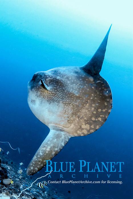 ocean sunfish, Mola mola, being cleaned at Pura Ped, Nusa Penida, near Bali, Indonesia, Pacific Ocean