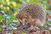 West European hedgehog (Erinaceus europaeus) foraging, Schleswig Holstein, Germany, Europe