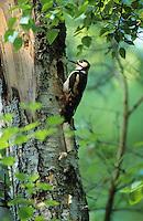 Buntspecht am Eingang zur Bruthöhle, Bunt-Specht, Specht, Spechthöhle, Dendrocopos major, Picoides major, great spotted woodpecker