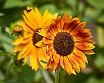 Sunflower. Image taken with a Nikon 1 V3 camera and 70-300 mm VR lens