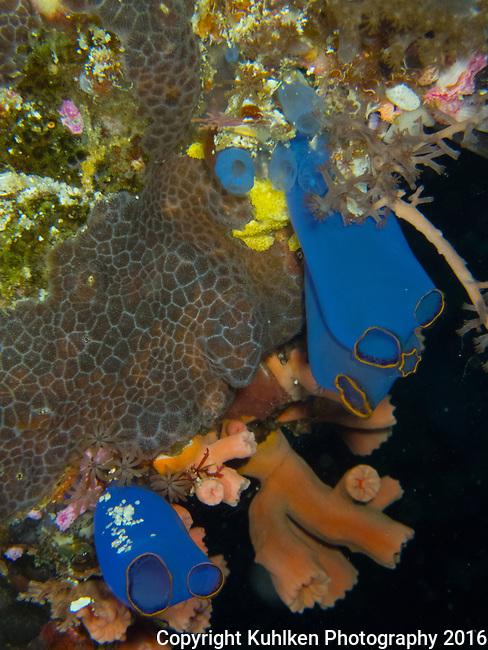 tunicates, Bali 2018