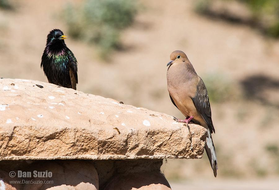 European Starling, Sturnus vulgaris, and Mourning Dove, Zenaida macroura, perch together at the Riparian Preserve at Water Ranch, Gilbert, Arizona