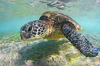A green sea turtle swims underwater at Laniakea Beach on the North Shore of Oahu, Often referred to as a honu, turtles are protected in the islands of Hawaii.