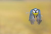 Blue Tit (Parus caeruleus), adult in flight, Zug, Switzerland, Europe