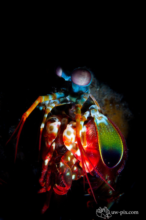 Peacock Mantis Shrimp (Odontodactylus scyllarus) - snoot at Tulamben - Bali - Indonesia<br /> Mantis Shrimps have excellent eye sight with large eyes mounted on stalks these can swivel to give almost 360' vision.<br /> Spearing mantis shrimps are usually found in their holes with just their heads showing, waiting for their prey.<br /> Smashing mantis shrimps are found during the day scurrying around the reef hunting their prey, but disappearing into their holes when approached.<br /> They can often be seen with their heads raised like a 'praying mantis', they also raise their tail as a warning.<br /> Their large claws are used for smashing or spearing their prey.