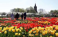 Nederland Limmen 2018.  In Noord-Holland ligt de Hortus Bulborum. In de tuin staan meer dan 4000 soorten bloemen. De hortus, waarin voornamelijk tulpen en narcissen staan, is in 1928 opgericht. De Hortus Bulborum is een proeftuin, waar nieuwe soorten worden gekweekt. Op de achtergrond de Protestantse ( Hervormde ) kerk van Limmen.   Foto Berlinda van Dam / Hollandse Hoogte