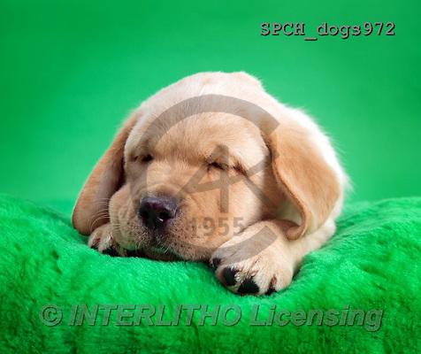 Xavier, ANIMALS, REALISTISCHE TIERE, ANIMALES REALISTICOS, dogs, photos+++++,SPCHDOGS972,#A#