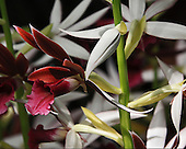 Nuns Cap Orchid<br /> Phaius<br /> Tankervilleae 'Rabins Raven'<br /> Orchidaceae<br /> Phaius is a genus of large, mostly terrestrial orchids, i.e meaning that they grow along the ground, of approximately 30 species that produce tall spikes of showy flowers. They are found in tropical Asia, into China, Japan, Australia, and west to Africa and Madagascar.  The most commonly cultivated since the late 1700's is P. tankervilliae commonly known as the nuns cap orchid. Phaius orchids produce beautifully scented flowers that last for a long time in the spring.