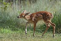 White-tailed Deer fawn (Odocoileus virginianus) in a joyful dance.