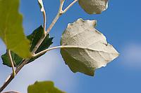 Silber-Pappel, Silberpappel, Pappel, Blatt, Blätter vor blauem Himmel, filzige Blattunterseite, Populus alba, White Poplar