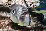 four-eye butterflyfish swimming right