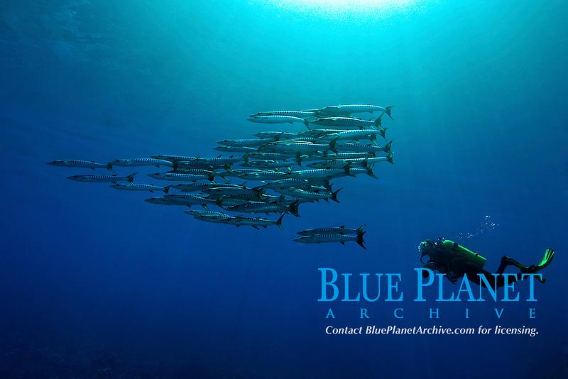 blackfin barracuda, Sphyraena qenie, schooling, and scuba diver, Apo Reef, Mindoro, Philippines, Pacific Ocean