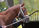 10 October 2009: Boots Ahead before the Jamaica Stakes at Belmont Park in Elmont NY.