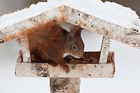 Europäisches Eichhörnchen, an der Vogelfütterung, Fütterung im Winter bei Schnee, im mit Körnern gefüllten Futterhäuschen, Vogelhäuschen, Futterhaus, Vogelfutterhäuschen, Vogelfutterhaus, Vogelhaus, Winterfütterung, Sciurus vulgaris, European red squirrel