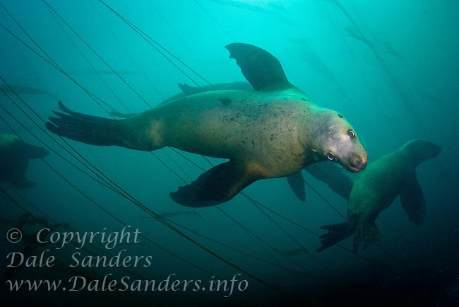 Stellers Sea Lions (Eumetpias jubatus) underwater at Race Rocks off Vancouver Island, British Columbia, Canada.