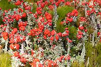 Rotfrüchtige Becher-Flechte, Rotfrüchtige Becherflechte, Scharlach-Becherflechte, Cladonia coccifera, Cladonia cornucopioides, Red Pixie Cup