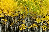 Canada, Alberta, Jasper, Pyramid Lake, Aspens turning yellow in the Autumn
