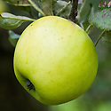 Apple 'Channel Beauty', mid September. A heavy-cropping late dessert apple from South Wales. Some old trees are still found growing in the Swansea area. Raised by C.H.Evans, Mumbles, and first recorded in the National Fruit Collection in 1922. Pick in October and use from November to January. A Cox's Orange Pippin seedling with a good savoury taste, crisp and juicy.