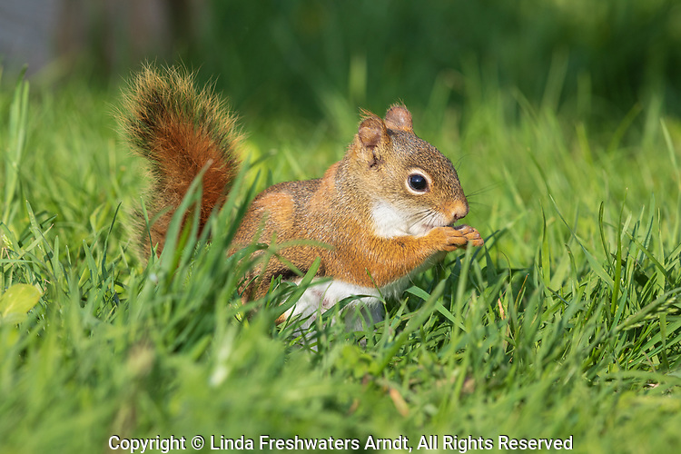 Female American red squirrel in northern Wisconsin.