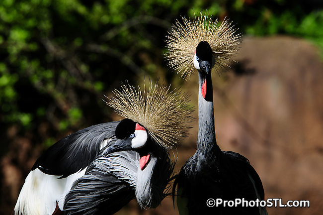 East African crowned cranes (gray-crowned cranes)
