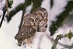 Northern saw-whet owl, Washington